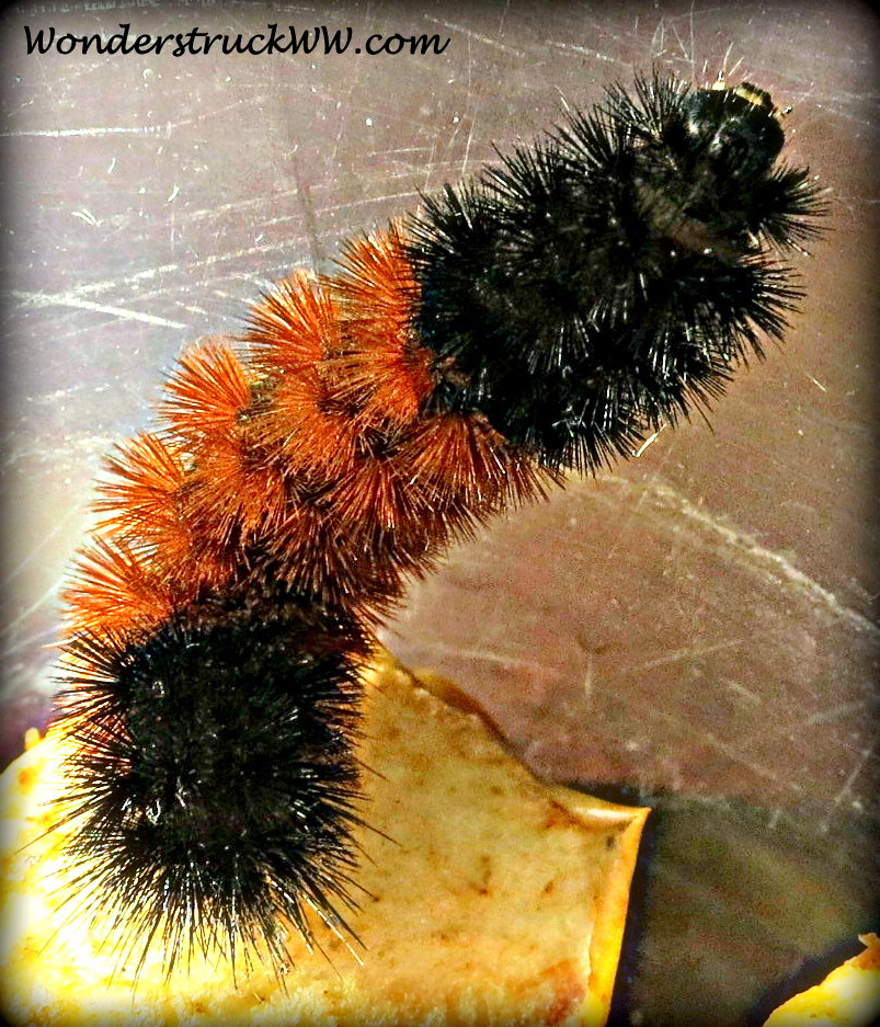 Wooly Bear Caterpillar Emerges Into A Tiger Moth